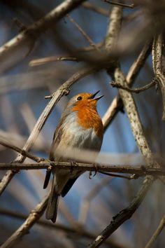 Hij zingt altijd uit volle (rood) borst. Foto en tekst: Sjerp Jansen De groene wereld.