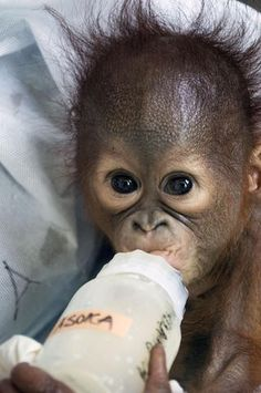 This sweet baby orangutan was found without his mother who was most likely killed. Cute Baby Animals, Funny Animals, Wild Animals, Save The Orangutans, Types Of Monkeys, Monkey World, Baby Orangutan, Boxer And Baby, Beautiful Creatures