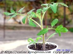 rasaduri tomate Plants, Tomatoes, Plant, Planets