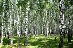 Sunny Birch Grove In Summer Mural - RF Images| Murals Your Way Scott likes