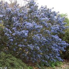 Ceanothus Tassajara Blue. Ceanothus or Mountain Lilac grows in California. Most Ceanothus plants are natural only in California.