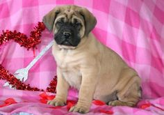 """The breed is commonly referred to as the """"Mastiff"""". Also known as the English Mastiff this giant dog breed gets known for its splendid, good natu Mastiff Puppies For Sale, English Mastiff Puppies, Dogs And Puppies, Mastiff Breeds, Mastiff Dogs, Giant Dog Breeds, Giant Dogs, Wallpaper English, Animales"""