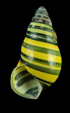 Amphidromus poecilochrous poecilochrous (Lembata form)