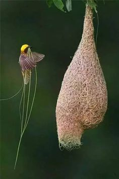 ~ Baya Weaver / Ploceus philippinus - Baumeister der Natur (Animal Architecture) by Ingo Arndt ~ Kinds Of Birds, All Birds, Love Birds, Pretty Birds, Beautiful Birds, Animals Beautiful, Beautiful Homes, Animals Amazing, Cutest Animals