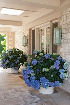 Hydrangeas in a container