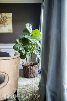 how to grow your fiddle leaf fig tree. super easy watering tip!