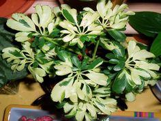 Nombre común: Cheflera Originaria de Australia e Indonesia, la Schefflera arboricola es de crecimiento lento, con un solo tallo y ho...