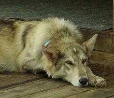 The Wolf-Dog Hybrid Craze: Do they make good pets? Beautiful Wolves, Beautiful Dogs, Animals Beautiful, Cute Puppies, Dogs And Puppies, Doggies, Wolf Husky, Wolf Dogs, Wolfdog Hybrid