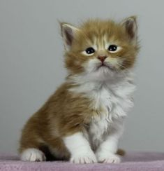 Stout-hearted Maine Coons - Kitten Pennut