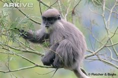 Purple-faced Langur (Trachypithecus vetulus) is a long-tailed arboreal monkey endemic to Sri Lanka. (38 photos & 1 video)