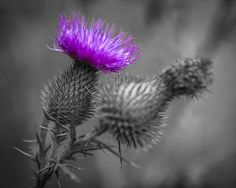 #SelectiveColor #photograph of the #Scottish #Thistle.