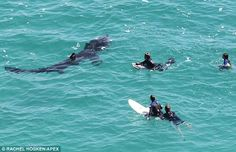 Photo of Sharks near Swimmers | ... with sharks: Brave surfers share the waves with giant basking shark