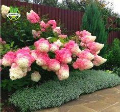 50 Vanilla Strawberry hydrangea Flower Seeds - Perennial Seeds #perennialsinpots