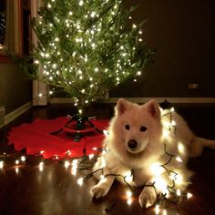 Simba the Samoyed helping out with the Christmas tree ❤️