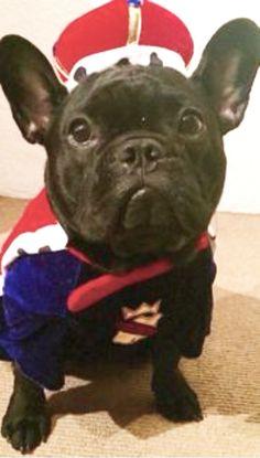 Teo, a French Bulldog Puppy, at 1 year old❤❤