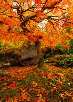 Fiery Japanese Maple Fall by Brandt Campbell Fall Pictures, Fall Photos, Fall Images, Fall Pics, Autumn Photography, Ad Photography, Nature Posters, Autumn Scenes, Autumn Aesthetic