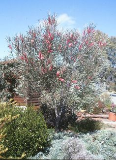 Large upright shrub/ small tree with grey narrow leaves. Grows to 4 mtrs high.