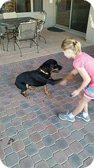 Gilbert, AZ - Rottweiler. Meet Sugar Bear, a dog for adoption. http://www.adoptapet.com/pet/14107556-gilbert-arizona-rottweiler