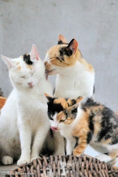 3 beautiful cats ~ I love calicos! I Love Cats, Crazy Cats, Cool Cats, Cats And Kittens, Ragdoll Kittens, Funny Kittens, Bengal Cats, White Kittens, Dog Cat