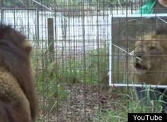 love it! Big Cats and mirrors...great idea...hmmm maybe we should try it with Leroy, Kya, Taj, and Mowgli!