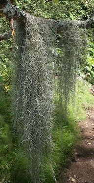 tree grandfather beard   Old mans beard, Spanish moss or Grandfathers beard are all common ...