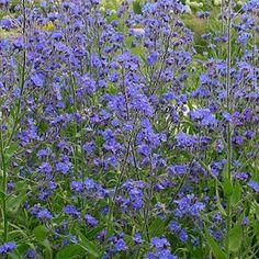 DROPMORE Anchusa Seeds Plants grow 4-5 feet tall, produce deep blue, late spring, summer and fall flowers.