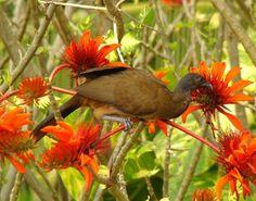 trinidad flowers   flowering immortelle tree in tobago
