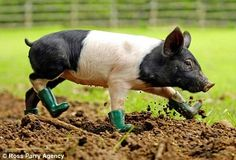 A pig wearing green boots, adorable :)