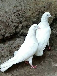 Love Birds, Beautiful Birds, High Flying Pigeons, Pakistani Pigeon, Pigeon Pictures, Pigeon Breeds, Chicken Breeds, Exotic Birds, Wild Birds