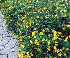 Bush Cinquefoil - drought tolerant, fun sun to part shade, deciduous, blooms all summer long through fall, can grow fairly large (3-4ft high & wide)
