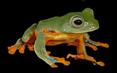 Google Image Result for http://www.generalexotics.com/frogs/tree-frogs-for-sale