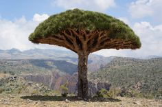 Dragon tree near canyon