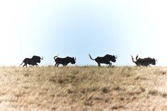 Wildebeest at Samara Karoo Lodge