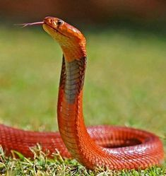 Red spitting cobra (naja pallida) of Eastern Africa. Another beautiful serpent. Venom is neurotoxic and cytotoxic Spiders And Snakes, Cool Snakes, Colorful Snakes, Poisonous Snakes, Les Reptiles, Reptiles And Amphibians, Beaux Serpents, Beautiful Creatures, Animals Beautiful