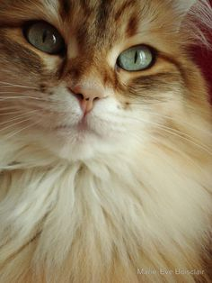 Marie-Eve Boisclair - golden siberian female cat