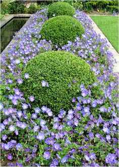 Box balls with blue perennial geraniums #gardening