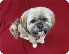 Lhasa Apso Dog for adoption in Portland, Oregon - Ducky
