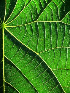 Nasturtium leaf macro