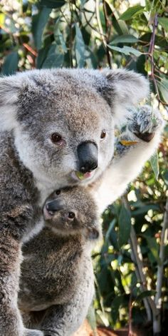 KOALA BABY! Can someone call the paramedics, I'm dying of cuteness! :3