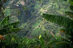 Tussen de bladeren van de bananenplanten, waar de koffie onder groeit, zijn koffieplantages aan de overkant van de vallei in Santa Barbara te zien.