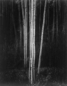 Ansel Adams - Aspens, Northern New Mexico