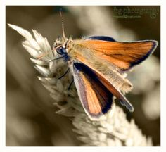 Large Skipper 6