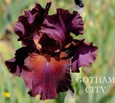 TB Iris germanica 'Gotham City' (Lauer, 1994)