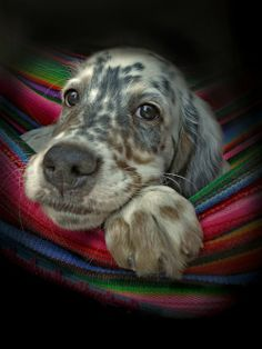 Who can resist that setter face? - Dog's Life, photo by Andrzej Radka - English setter Cute Puppies, Cute Dogs, Dogs And Puppies, Doggies, English Setter Puppies, English Setters, Beautiful Dogs, Animals Beautiful, Animals And Pets