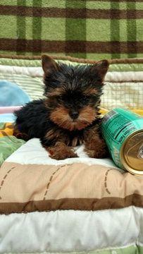 Litter of 2 Yorkshire Terrier puppies for sale in CUMMING, GA. ADN-43243 on PuppyFinder.com Gender: Female. Age: 9 Weeks Old #yorkshireterrier