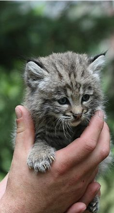I believe this a baby lynx, but i can't be sure...but it's really cute
