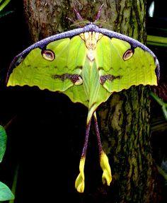 trees-stars-seas: Luna Moth (by khasan) Beautiful Bugs, Beautiful Butterflies, Amazing Nature, Beautiful Creatures, Animals Beautiful, Large Moth, Colorful Moths, Foto Macro, Moon Moth