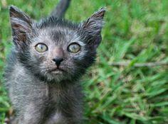 Lykois ..... a cat werewolf hybrid .....
