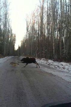 Amazing, a moose chasing a wolf - Alaska