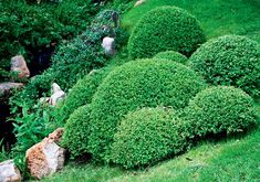 Декоративные кустарники для сада | Цветники | Журнал «Дом и сад»